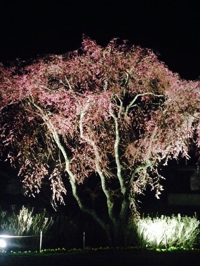 光前寺夜桜 2014.4.18.jpg