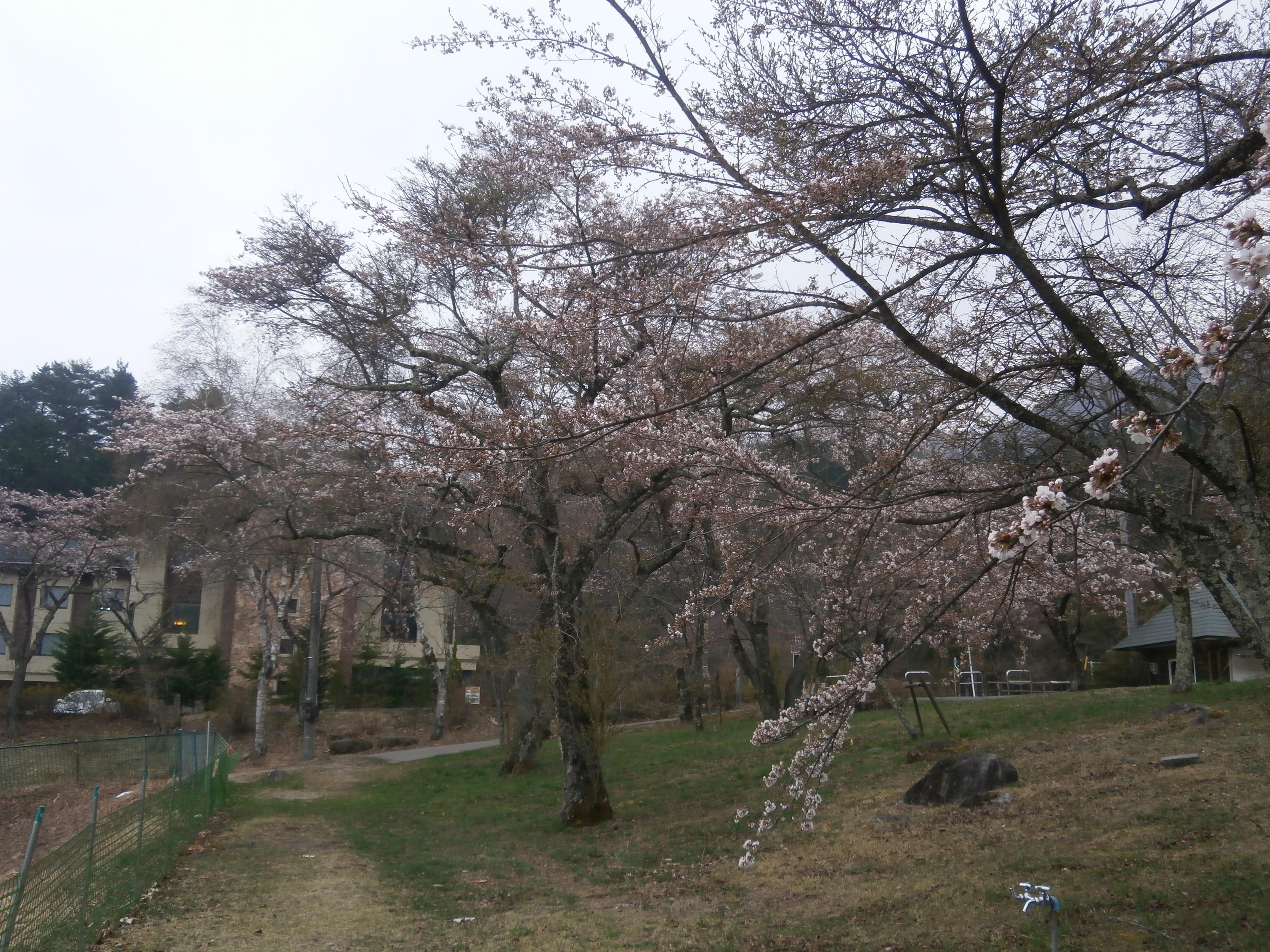 駒ヶ池桜2 2014.4.18.JPG