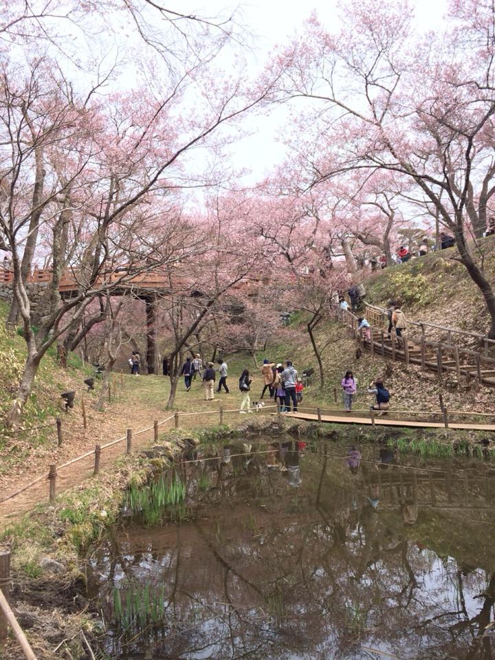 高遠桜1 2014.4.13.jpg