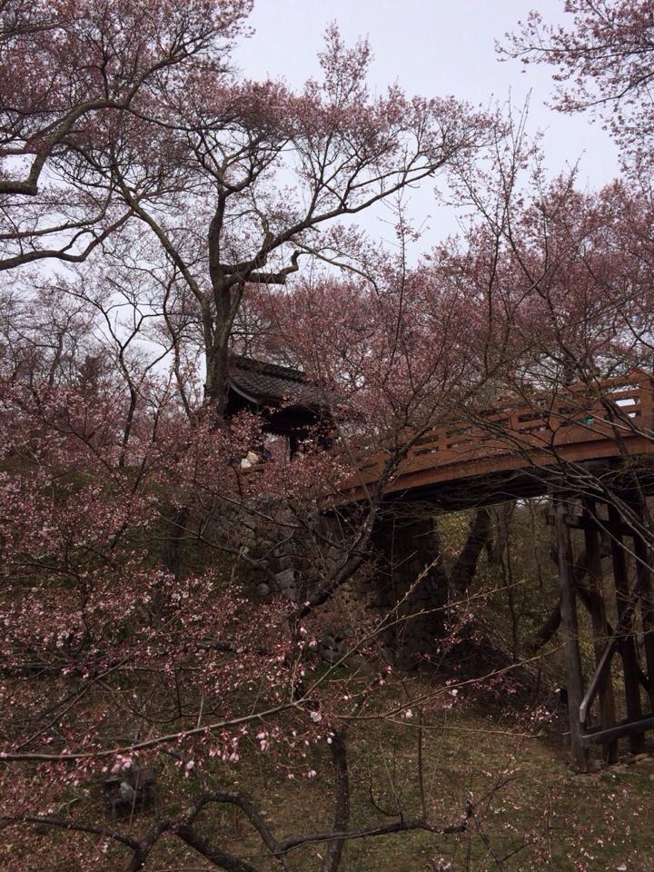 高遠桜2 2014.4.13.jpg