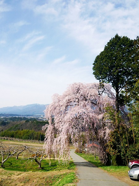 20140411喜瀬桜景山2.jpg