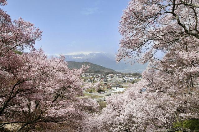高遠桜1.jpg