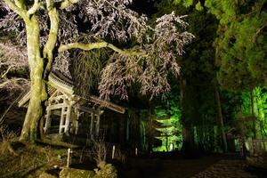 今年も光前寺の桜のライトアップ始まりました。画像その1