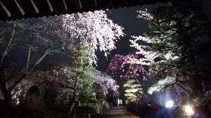 今年も光前寺の桜のライトアップ始まりました。画像その2