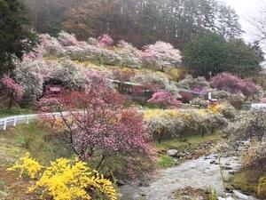 中沢地区の花桃も咲き始めました。画像その1