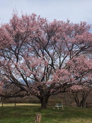 大草城址公園 桜見頃です!!画像その2