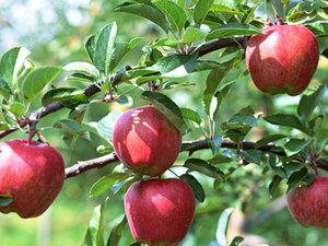 【果物狩り】大自然の中で満喫・信州りんご狩り体験プラン画像その1