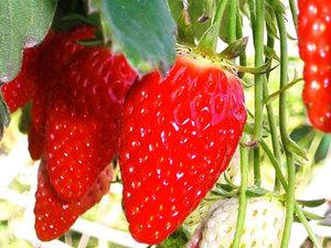 【完熟いちご狩り】真っ赤に甘く熟したイチゴを食べ放題♪宿泊プラン画像その1