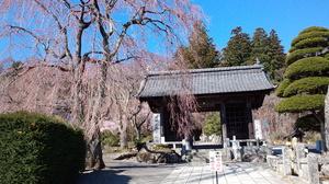 光前寺の桜はまだまだこれからです。画像その1