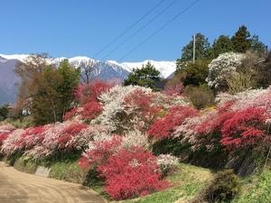 駒ヶ根中沢地区の花桃が見頃になってきています。画像その1