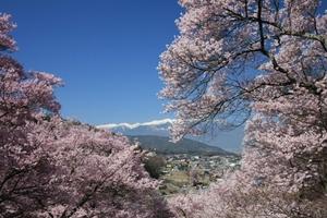 【地域】高遠城址公園~天下第一の桜~ 高遠さくら祭り画像その1