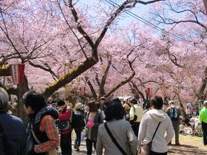 【地域】高遠城址公園~天下第一の桜~ 高遠さくら祭り画像その2