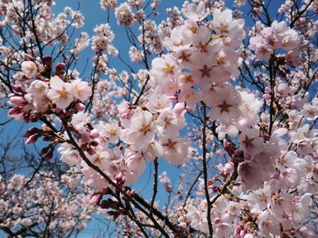 110418高遠の桜010.jpg